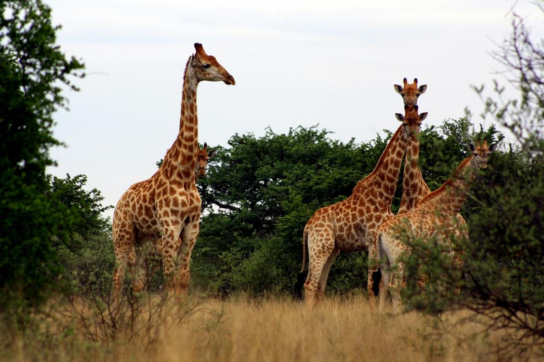 Giraffes in Sandveld Nature Reserve