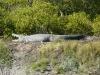 Crocodile 01