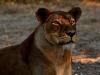 Lioness Gorongosa