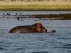 Hippos - Lake Jozini 10