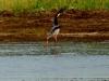 Yellow Billed Stork - Lake Jozini 11