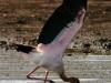 Yellow Billed Stork - Lake Jozini 12
