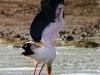 Yellow Billed Stork - Lake Jozini 13