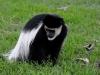 Lake Naivasha - Colobus Monkey