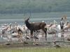 Lake Naivasha - Waterbuck