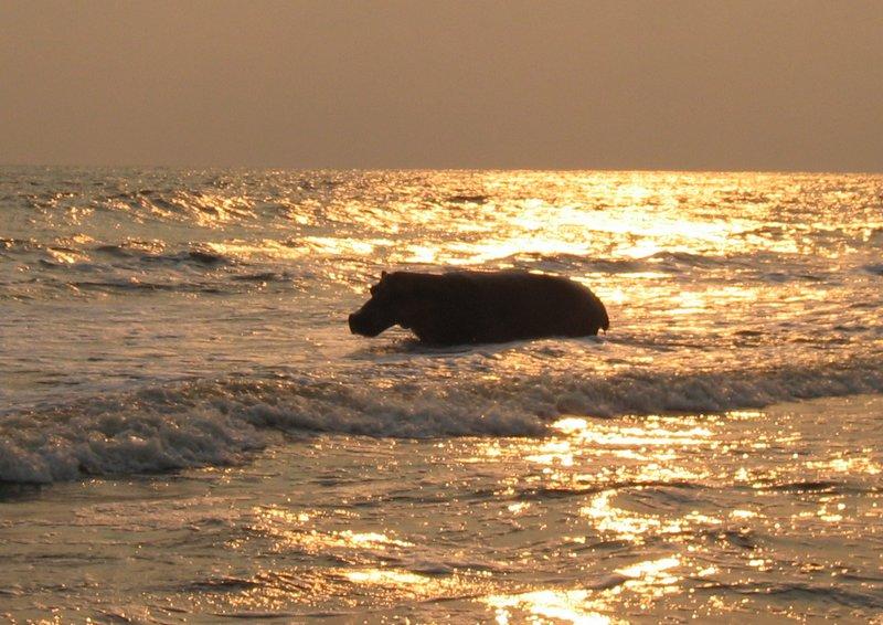 Surfing hippo