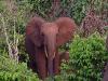 Forest Elephants 2
