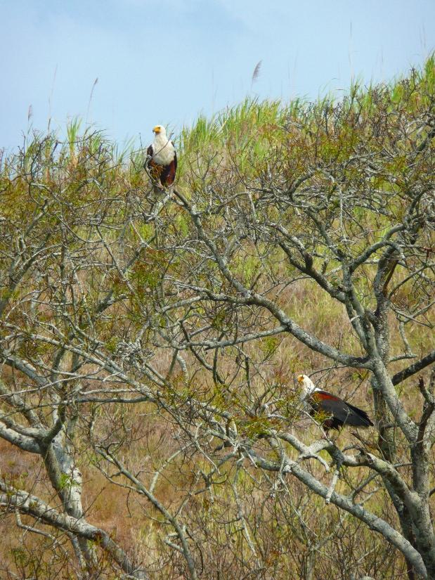 Umlalazi River - African Fish Eagle