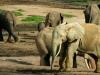 Forest Elephant 1