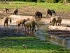 Forest Elephant 2