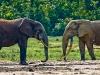 Forest Elephant 3