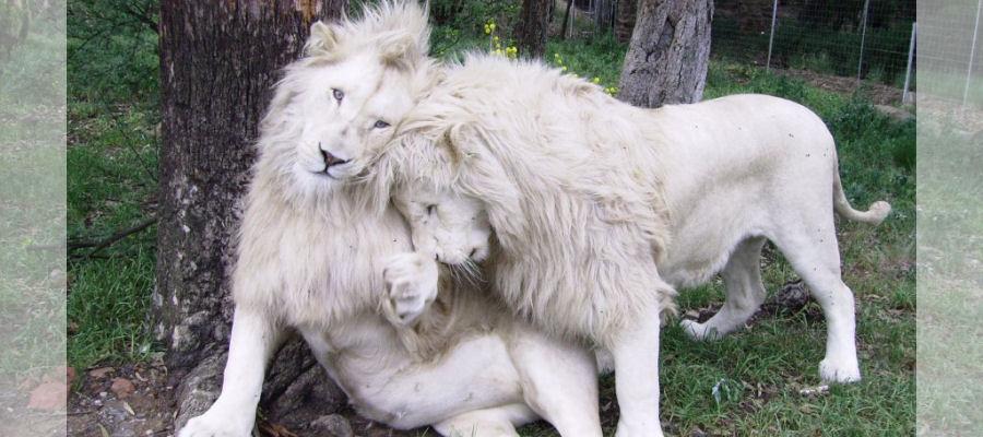 Wild Horses Lodge - white lions