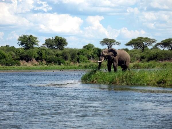 Elephant on Zambezi River