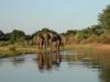 Zambezi - Lower Zambezi Elephants