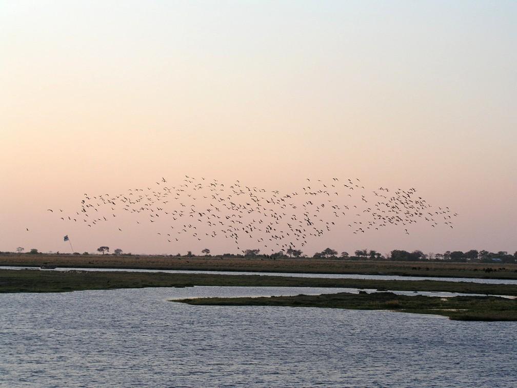 Chobe River - birds