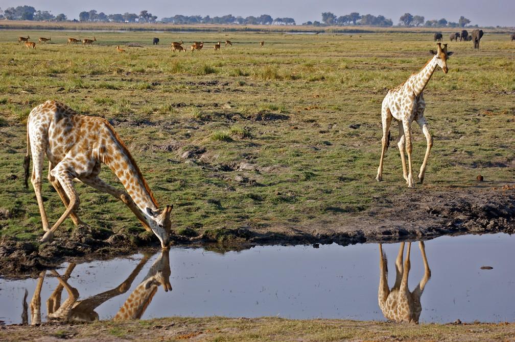 Chobe River - Giraffe drinking