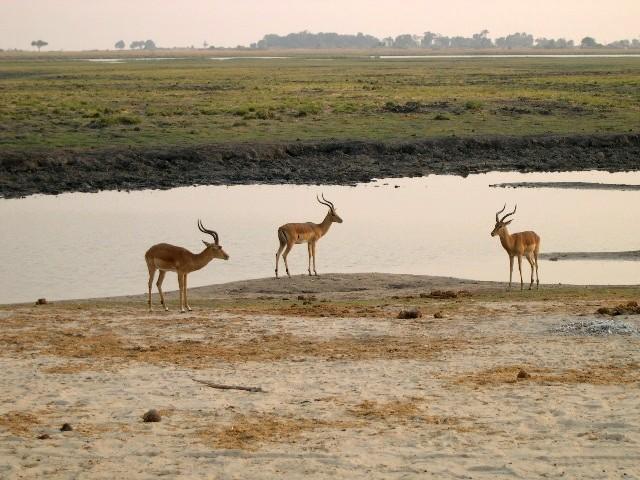 Chobe River - Impalas