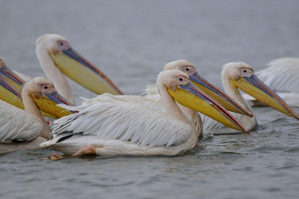 Lake Naivasha - Pelicans