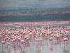 Lake Naivasha - Flamingoes