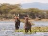 Lake Naivasha - Waterbucks